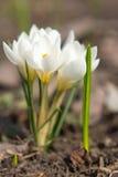 Букет белых крокусов Стоковое фото RF