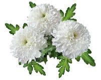 Букет белых цветков хризантемы Стоковое Изображение