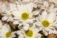 Букет белых цветков хризантемы Стоковое Фото