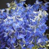 Букет бутонов цветка Columbine для wedding торжеств Стоковые Изображения