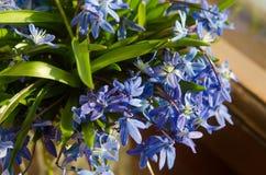 Букет вазы голубых snowdrops стеклянной на windowsill Концепция подхода весны Стоковые Фотографии RF