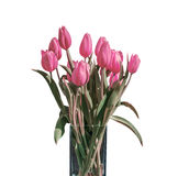 Букет весны розовых тюльпанов изолированных на белой предпосылке в ведре Стоковое Фото