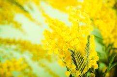 мимоза Стоковая Фотография RF