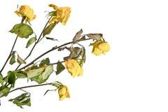Букет вянуть высушенных желтых роз Стоковые Изображения RF