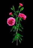 Букет гвоздики цветков Стоковая Фотография