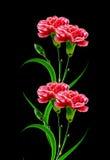 Букет гвоздики цветков Стоковое фото RF