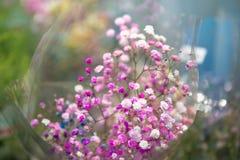Букет гипсофилы пинка и белых, конца вверх, выборочный фокус Тема садовничать и floriculture стоковое фото