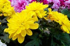 Букет желтой и пурпурной красивой хризантемы стоковые фотографии rf
