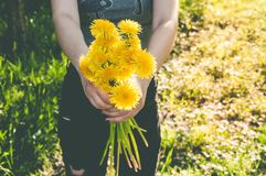 Букет желтых одуванчиков в макросе в руках женщины Стоковое фото RF