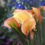 Букет желтых лилий calla Стоковые Фотографии RF