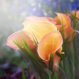 Букет желтых лилий calla Стоковое фото RF