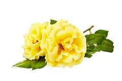 Букет желтых роз на белой изолированной предпосылке Стоковое Фото