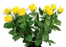 Букет желтых роз на белой предпосылке Стоковая Фотография RF