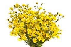 Букет желтых senecios изолировал белую предпосылку Стоковая Фотография RF