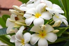 Букет зацветая белого Plumeria или Frangipani цветет Стоковая Фотография RF