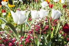 Букет зацветая тюльпана цветет на красочной предпосылке Стоковое фото RF