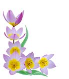 букет изолировал тюльпаны Стоковое Фото
