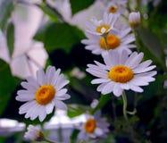 Букет красивых белых стоцветов Стоковые Фото