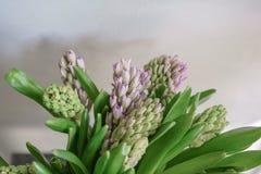 Букет красивых гиацинтов сирени Цветки весны конца-вверх в вазе луковичный завод 0 обоев версии 8 имеющихся eps флористических Стоковая Фотография