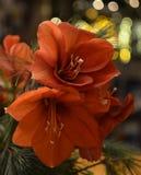Букет красных лилий ` s St Joseph Стоковое Фото