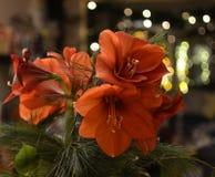Букет красных лилий ` s St Joseph Стоковые Изображения