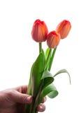 Букет 3 красных тюльпанов в руке Стоковое фото RF