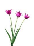 Букет 3 красных тюльпанов Стоковое Изображение RF