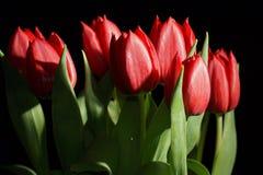 Букет красных тюльпанов Стоковые Изображения