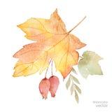 Букет осени вектора акварели листьев, ветвей и ягод dogrose изолированных на белой предпосылке Стоковое фото RF