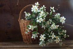 Букет от ветвей нежного белого jasmin в wattled греется Стоковое фото RF