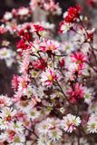 Букет от красных и белых стоцветов на рынке цветка Стоковое Фото