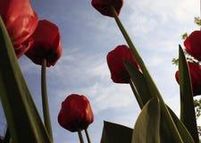 Букет пестротканых тюльпанов против светлого конца-вверх против голубого сизоватого неба стоковая фотография