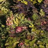 Букет пестротканых protea, лаванды и thuya Флористическое patte Стоковые Изображения RF