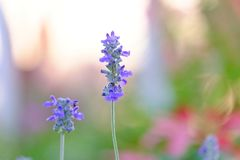 Букет пурпурного цветения цветка вербены в ботаническом саде стоковые фотографии rf