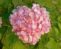 Букет розового цветка Hortensia естественный стоковые изображения