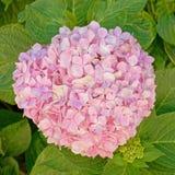 Букет розового цветка Hortensia естественный стоковая фотография rf