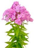 Букет розового phlox Стоковое Изображение