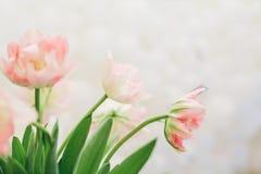 Букет розовых тюльпанов на светлой предпосылке желтый цвет весны лужка одуванчиков предпосылки полный Стоковые Изображения RF