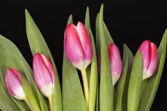 Букет розовых тюльпанов цветка весны изолированных на черной предпосылке Стоковые Изображения