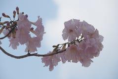 Букет розовых цветений Сакуры стоковые фото
