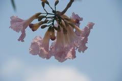 Букет розовых цветений Сакуры Стоковые Изображения RF