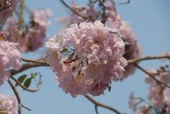 Букет розовых цветений Сакуры стоковое фото