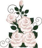 Букет роз на белой предпосылке Стоковое фото RF