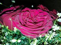 Букет роз стоковые фото