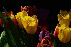 Букет свежих цветков тюльпана различных цветов, главным образом желтых, на черной предпосылке Стоковое Фото