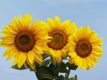 Букет солнцецвета 3 Стоковые Фотографии RF