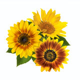 Букет солнцецветов изолированных на белой предпосылке Стоковое Изображение