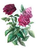 Букет с 3 розами - картина акварели Стоковое Изображение RF