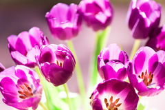 Букет тюльпанов в солнечном свете стоковые изображения rf