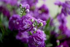 Букет фиолетового Mattioli, упакованный в фиолетовой бумаге На белой предпосылке флористическо стоковое изображение